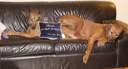 Dogs on sofa with stupid aphorism pillow