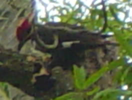 Pileated woodpecker pecking for bugs
