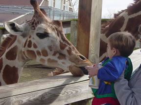 Max feeds a giraffe